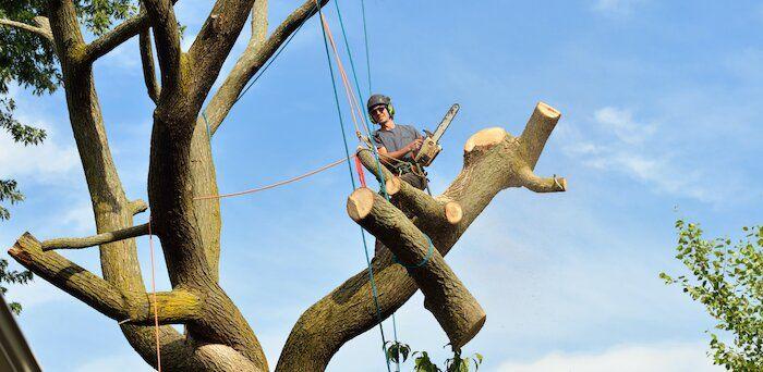 tree sawed at base